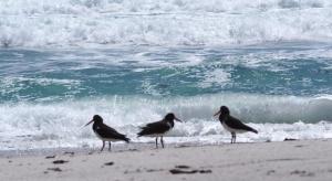 oystercatchers-chatham-islands