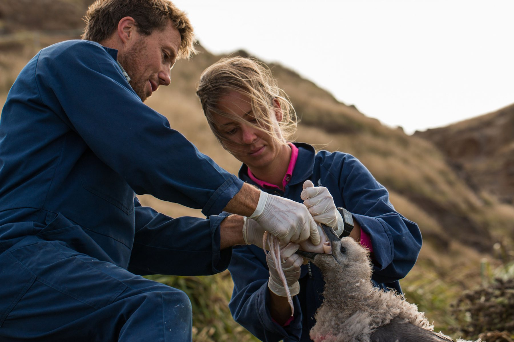 Albatross Feeding-