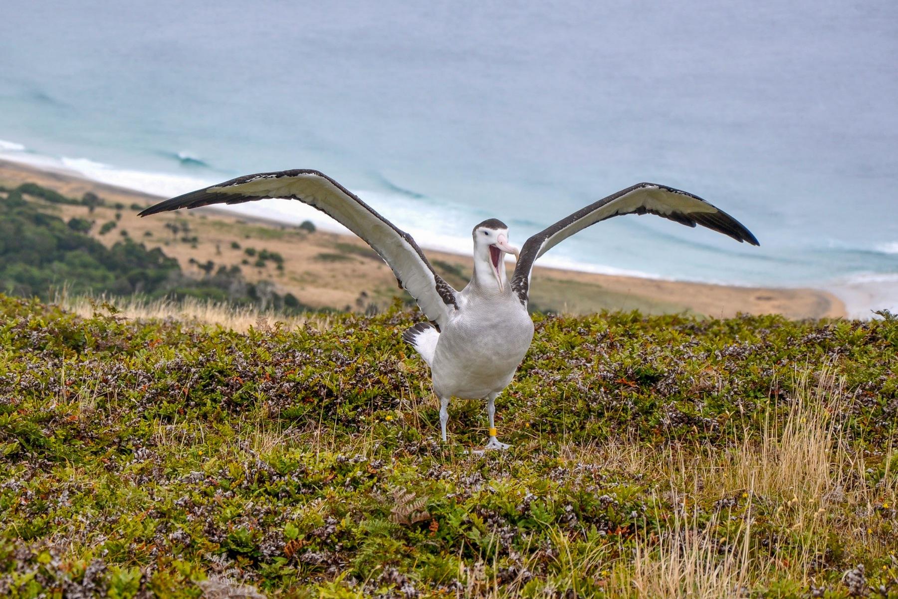 Antipodean Albatross, Pitt Island