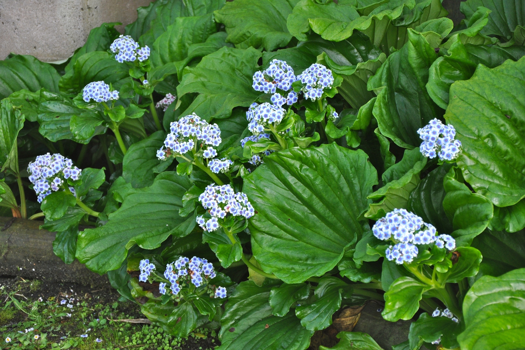 Forget-me-nots, Chatham-Island