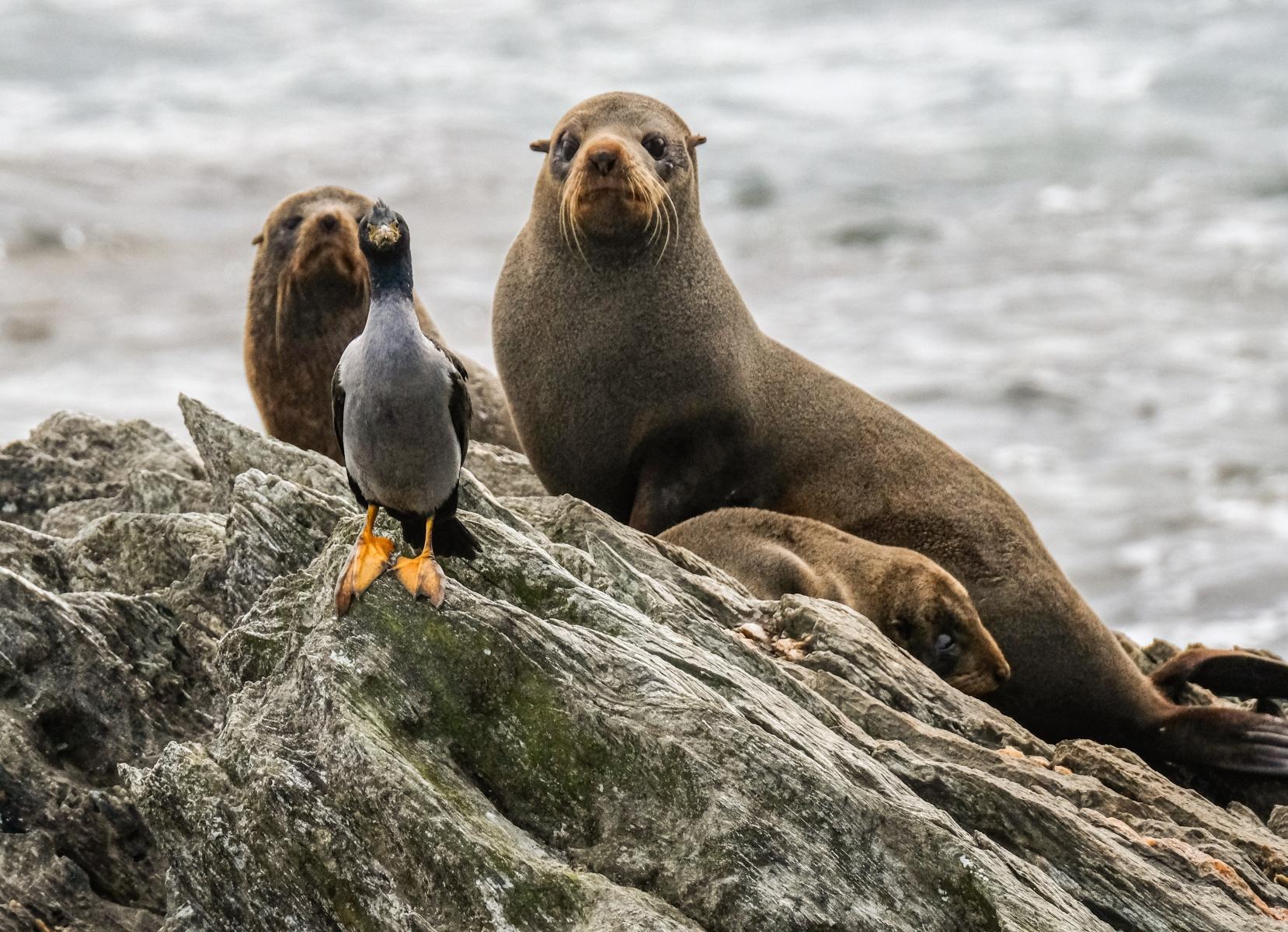 Seals and a Shag at Pt Munning, Chatham Islands